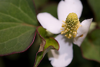 Heartleaf flower (Houttuynia cordata) close-up.