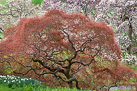 Acer palmatum var. dissectum; Cut leaf Japanese Maple tree, spring leaves unfolding, Winterthur Garden