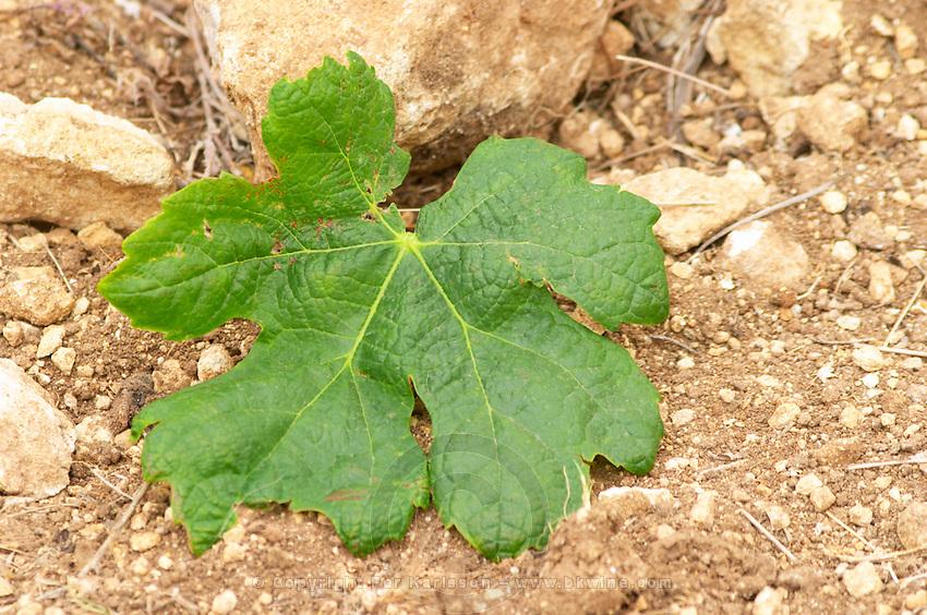 Prieure de St Jean de Bebian. Pezenas region. Languedoc. Vine leaves. Young Roussanne vines in calcareous soil in the area of Frigolas. Terroir soil. France. Europe. Vineyard. Calcareous limestone.