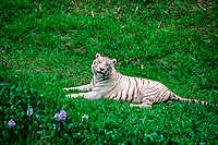 Namaste, a 4-year-old juvenile male white Bengal tiger, Indian tiger, Panthera tigris tigris (endangered), found in India and Southeast Asia, at the Pana'ewa Rainforest Zoo, Hilo, Big Island, Hawaii (c)