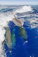Pantropical Spotted Dolphins, Stenella attenuata, riding boat wakes, and calf spouting, off Kona Coast, Big Island, Hawaii, Pacific Ocean.