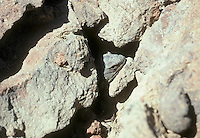 Western Chuckwalla, Sauromalus obesus, hides under a rock in Red Rock Canyon State Park, California
