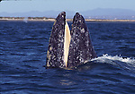 gray whale and baleen at Laguna San Ignacio