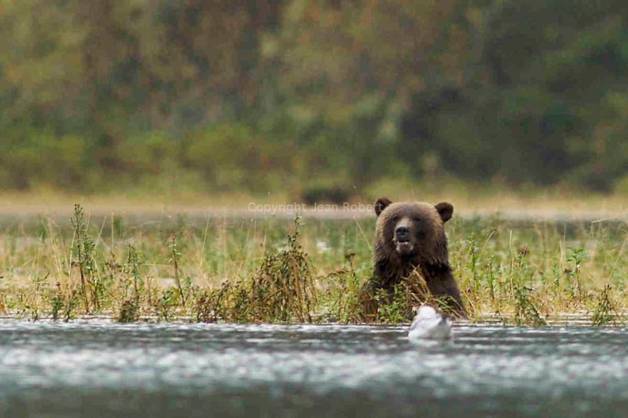 Grizzly en train de pecher des saumons dans lestuaire  de Mussel Inlet au coeur de la foret pluviale de la cote ouest de Colombie Britannique Spirit bear. American Black Bear  catching salmons in Mussel Inlet estuary in the heart of the British columbia rain forest.