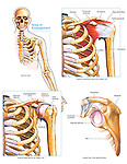 Anatomy of the Shoulder Joint and Rotator Cuff