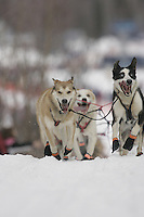 Lead dogs at at the restart of the 2008 Iditarod in Willow