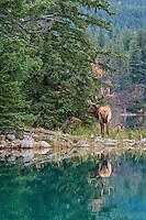 Rocky Mountain Elk Bull (Cervus canadensis nelsoni).  Northern Rockies.  October.