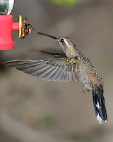 Hummingbird, Southeastern Arizona