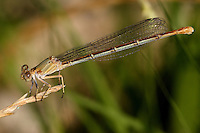 Blue-fronted Damselfly, immature female.