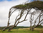 Weston super Mare, Somerset, England Trees shaped by strong wind at Sand Bay, Kewstoke, Somerset, England