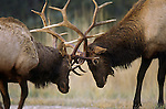 Sparring Bull Elk in the fall rutting season in Montana