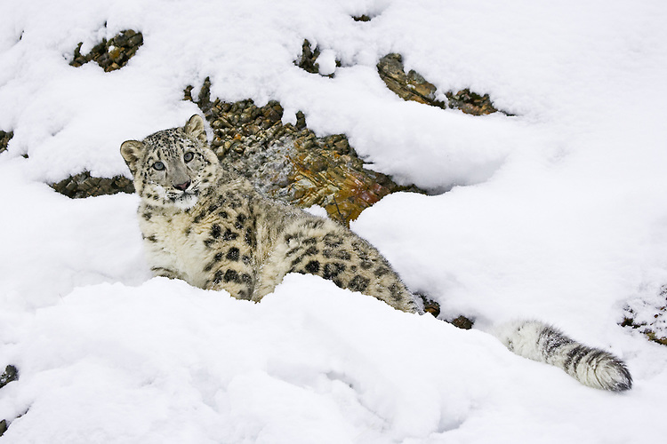 Snow Leopard lying on the side of a rocky and snowy hill - CA
