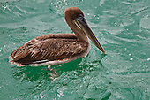 Brown Pelican swimming in the clear, bright green water around Santa Fe in the Galapagos Islands. His webbed feet are visible and his beak is touching the water.