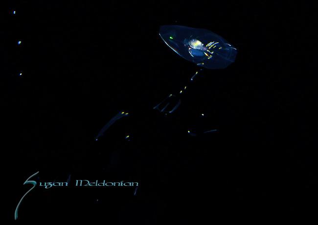 Siphonophore, Sulculeolaria quadrivalvis, Black Water diving over Gufstream Current,depth 600 ft. Full moon, Super moon, with Pura Via Divers, off Singer Island, Florida