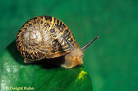 1Y08-058z   Land Snail - west coast snail - Helix aspersa
