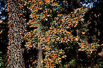 Monarch Butterflies congregate on the fir trees of Michoacan, Mexico.