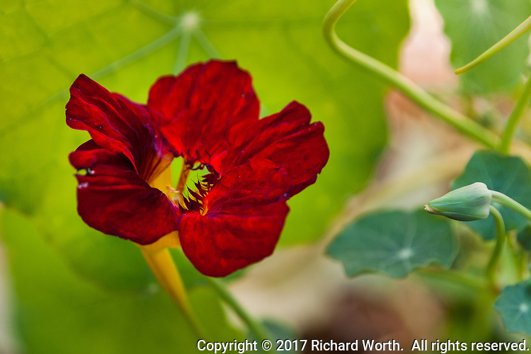 A deep red nasturtium blossom next to a yet-to-open bud.