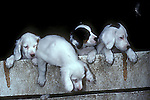 Young English Setter puppies