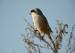 Long Tailed Shrike, Lanius schach, perched on top of shrub bush, Corbett National Park, Uttarakhand, Northern India.India....