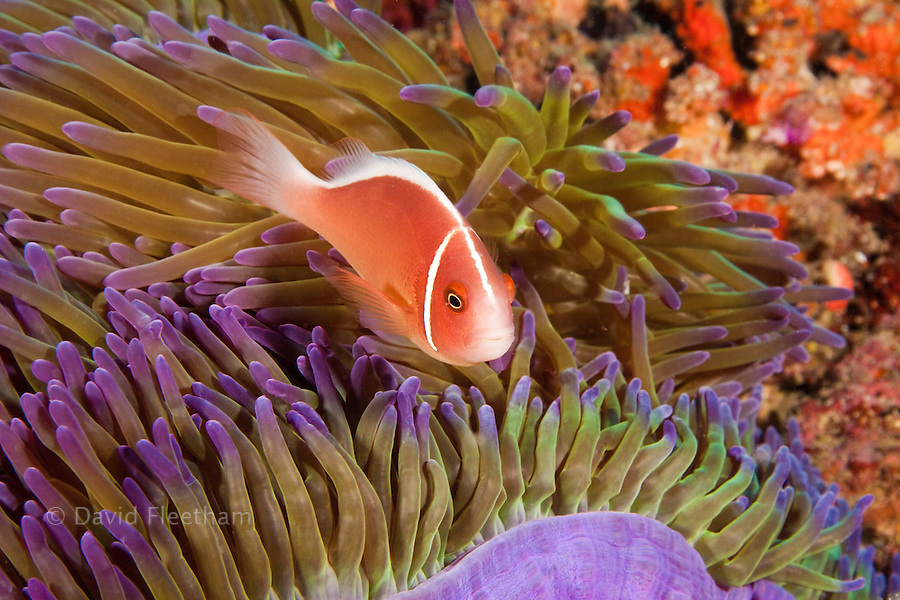 This common anemonefish, Amphiprion perideraion, is most often found associated with the anemone, Heteractis magnifica, as pictured here, Tubbataha Reef, Philippines.