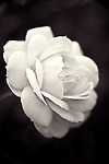 Black and white of single rose