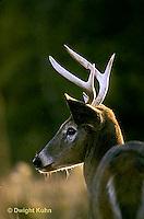 MA11-011x  White-tailed Deer - male - Odocoileus virginianus