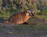 Nice badger, love the light!