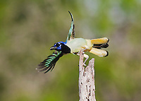 Green Jay (Cyanocorax yncas), adult in flight, Sinton, Corpus Christi, Coastal Bend, Texas, USA