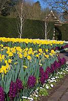 Spring bulbs yellow Daffodils, purple red Hyacinth Woodstock, English daisy Bellisima White, green hedge, birch trees, blue sky, bare trees, in pretty garden scene