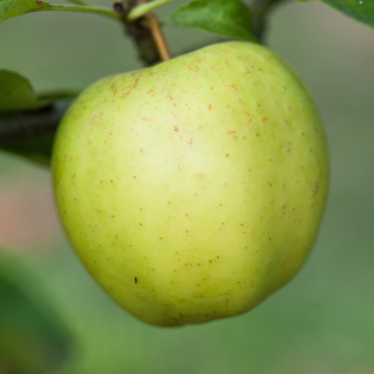 """Apple 'Saint Edmund's Pippin' (syn. 'Saint Edmund's Russet'), late September. A late 19th century English dessert apple from Bury St Edmunds. """"Picked too early, when green, hard and disappointing, but really ripe can be ambrosial, like pear flavoured vanilla ice cream"""" ('The New Book of Apples' by Joan Morgan and Alison Richards)."""
