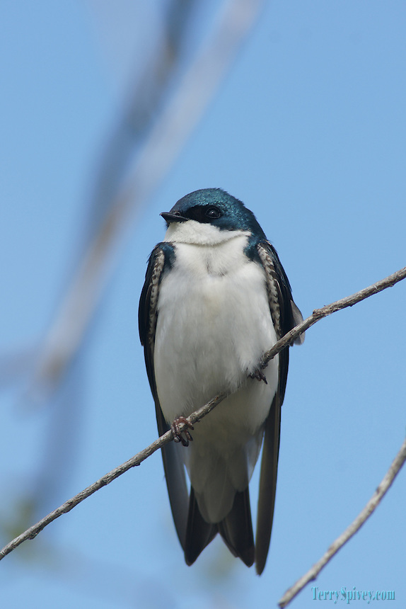 SONY DSC Tree Swallow