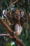 A Koala with her cub, Australia