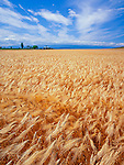 Ebey's Landing National Historic Reserve, WA<br /> Amber waves of grain in the fields of the Sherman-Bishop farm