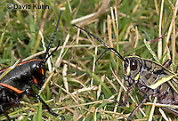 0721-07yy  Eastern Lubber Grasshoppers - Romalea guttata Nymph and adult © David Kuhn/Dwight Kuhn Photography