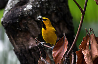 CALI - COLOMBIA - 09 - 02 - 2018: Turpial Amarillo (Icterus Nigrogularis) especie de ave en Cali, en el Departamento del Valle del Cauca. / Turpial Amarillo (Icterus Nigrogularis) a bird species in Cali, in the Department of Valle del Cauca. / Photo: VizzorImage / Luis Ramirez / Staff.
