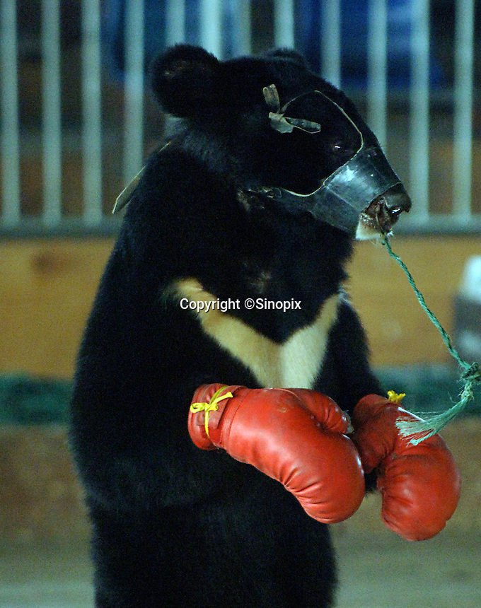 Asian brown bear Hui Hui, wearing red gloves as he trains for a bizarre bear boxing spectacle held twice daily at a Chinese wildlife park that describes itself as a bear sanctuary in Guanxi Province, China. During the training sessions the bears are tied together by the nose so that they are unable to escape from one another. ..SINOPIX PHOTO