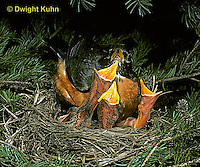 RO02-009z   American Robin - adult preparing to sit on young for protection - Turdus migratorius