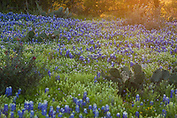 Sunset falls over a field of Texas Bluebonnets and prickly pear cactus in the Texas Hill Country, Llano County, Texas, USA