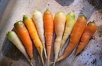 Rainbow carrots, Chipping, Lancashire.