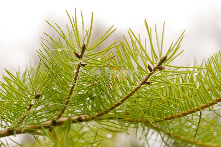 Rain Covered Pine Branch