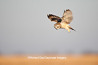 01113-01013 Short-eared Owl (Asio flammeus) in flight at Prairie Ridge State Natural Area, Marion Co., IL
