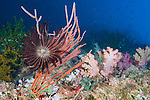 Rainbow Reef, Somosomo Strait, Fiji; a crinoid is attached to a Red Whip Coral (Ellisella sp.) and open in the strong current, colorful soft corals and hard corals cover the reef