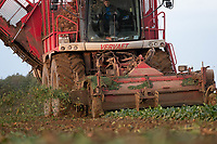 Contractors lifting beet in the late evening sun<br /> &copy;Tim Scrivener Photographer 07850 303986<br />      ....Covering Agriculture In The UK....