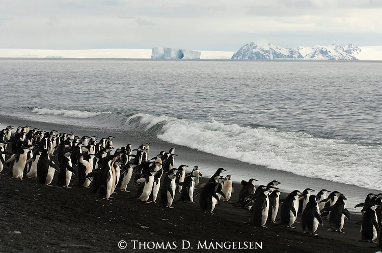 Chinstrap Penguin colony on the beach of Deception Island, Antarctic Peninsula.