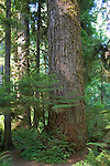 Temperate rainforest on the Olympic Peninsula in Washington State, USA