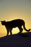 Mountain Lion or Cougar (Felis conclolor).  Western U.S., winter sunrise.