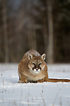 Cougar (Felis concolor) crouching in the snow