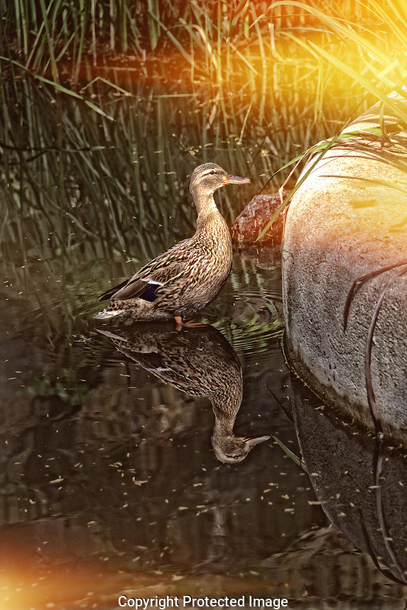 Female duck in a pond, with sun reflecting the duck in the pond. Digitally altered