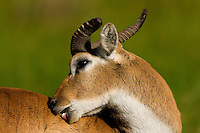 close-up of a male red lechwe in nice light biting its itchy back