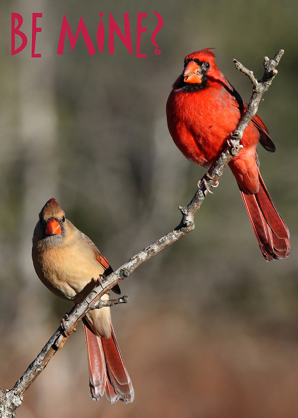 "Male/female Cardinals in the morning ""love"" light :)"